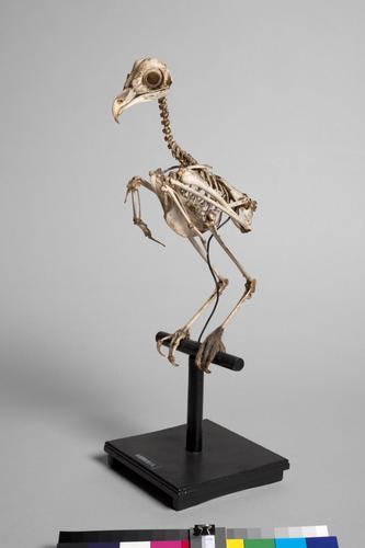 Skelet van een Bruine kiekendief