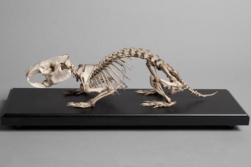 Skelet van een Kaapse duinmolrat