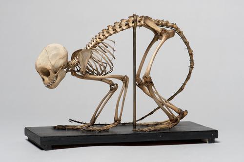 Skelet van een zwarte kuifaap