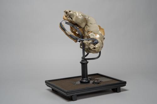 Schedel van een embryo van een Europees konijn