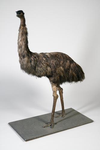 Droogpreparaat van een emoe