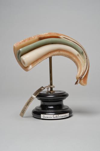 Wasmodel van een spoelworm, Ascaris lumbricoides