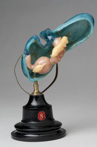 Wasmodel van een auricularialarve van een zeekomkommer