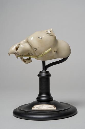 Wasmodel van een schedel van een embryo van een Europees konijn