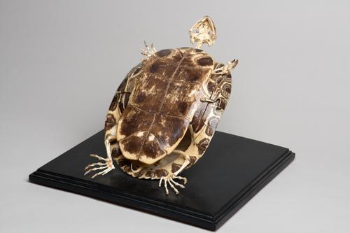 Droogpreparaat van het skelet en het schild van een roodwangsierschildpad