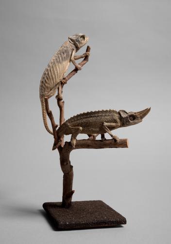 Droogpreparaat van een Owens driehoornkameleon