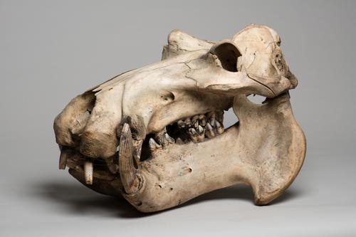Schedel van een nijlpaard
