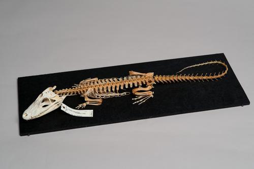 Skelet van een brilkaaiman