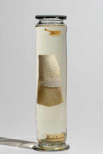 Vloeistofpreparaat van een stuk huid van een snoek