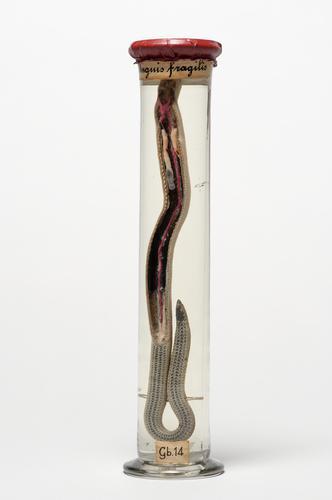 Longen en bloedvaten van de hazelworm