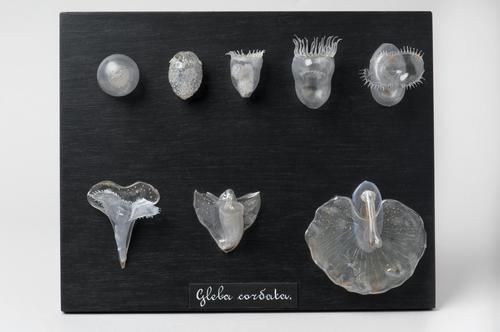 Embryonale ontwikkeling zeeslak