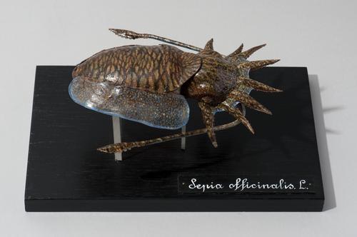 Glasmodel gewone zeekat