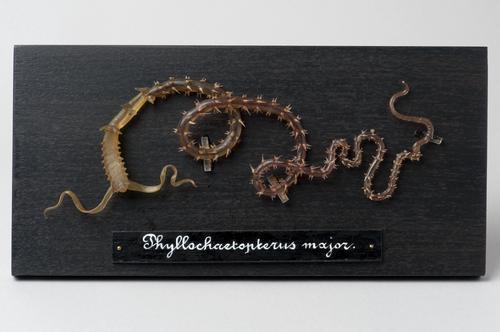 Glasmodel borstelworm