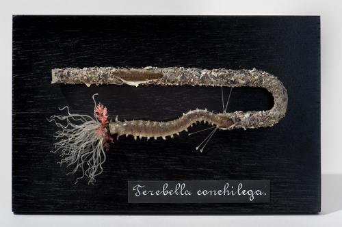 Glasmodel schelpkokerworm