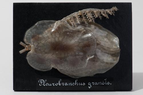 Glasmodel van een zeeslak, Pleurobranchus grandis