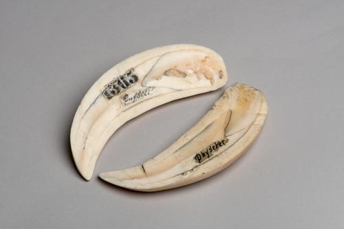 Tand van een potvis