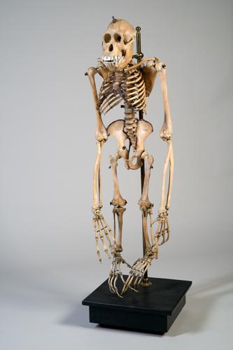 Skelet van een orang-oetan