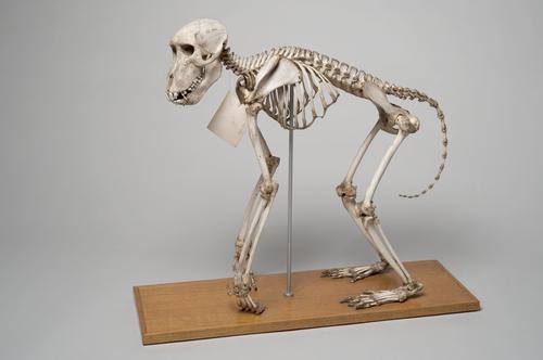 Skelet van een baviaan