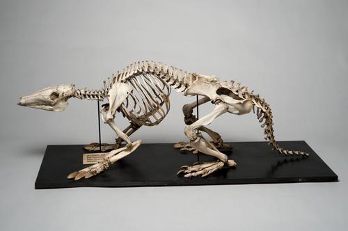 Skelet van een aardvarken
