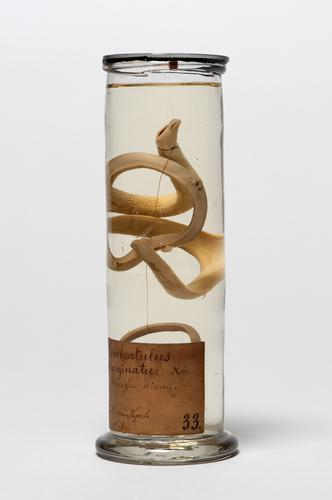 Vloeistofpreparaat van een exemplaar van de snoerworm Cerebratulus marginatus