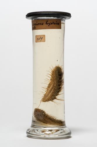 Vloeistofpreparaat van de borstelworm