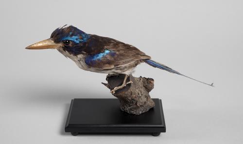 Droogpreparaat van een Raketstaartijsvogel