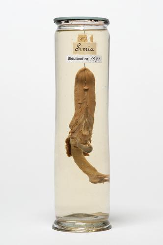Tong, strottenhoofd en tongbeen van een aap