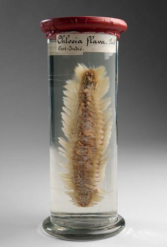 Vloeistofpreparaat van een borstelworm