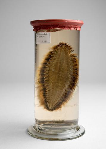 Vloeistofpreparaat van een zeeworm