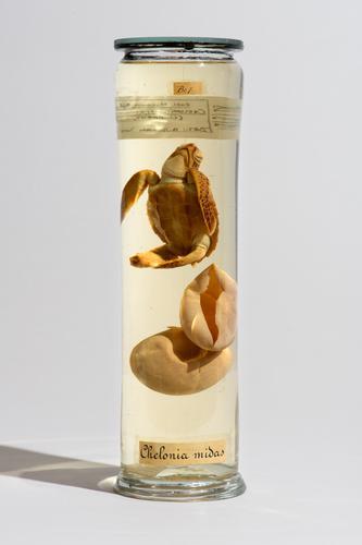 Vloeistofpreparaat van embryo en eieren van een soepschilpad