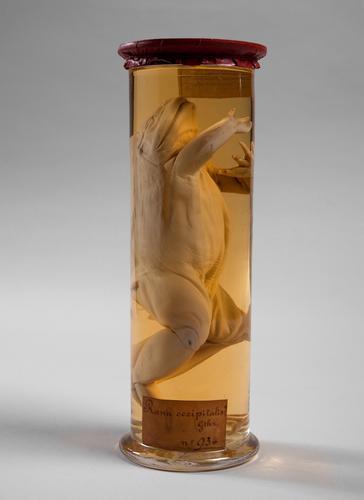 Vloeistofpreparaat van een stierkikker