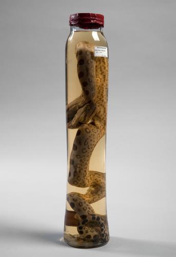 Vloeistofpreparaat van de groene anaconda