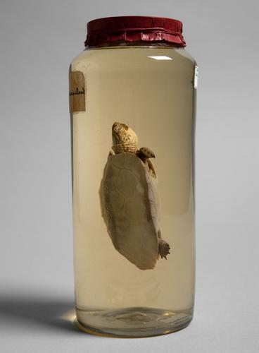 Vloeistofpreparaat van een Zuidamerikaanse aardschildpad
