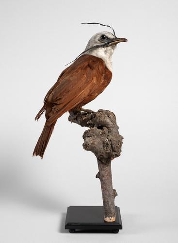 Droogpreparaat drielelklokvogel