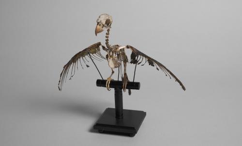Skelet van een dwergpapegaai