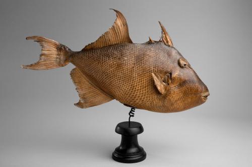 Koningstrekkervis