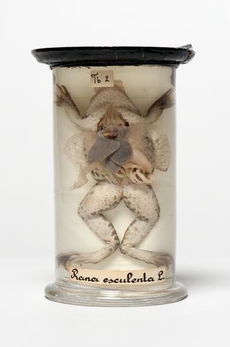 Anatomisch preparaat van een groene kikker