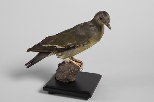 Maleise papegaaiduif