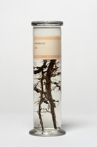 Mycorrhiza bij els