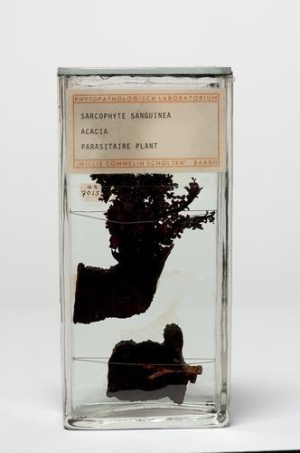 Sarcophyte sanguinea op acacia