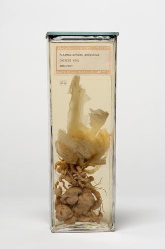 Knolvoet, door Plasmodiophora brassicae, bij chinese kool