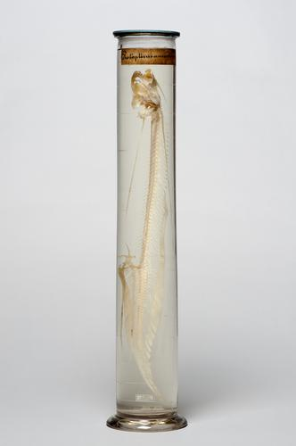 Vloeistofpreparaat van het skelet van een Westafrikaanse longvis