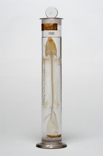 Vloeistofpreparaat van het skelet van de Nijlkwastsnoek