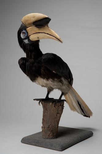 Dubbelneushoornvogel