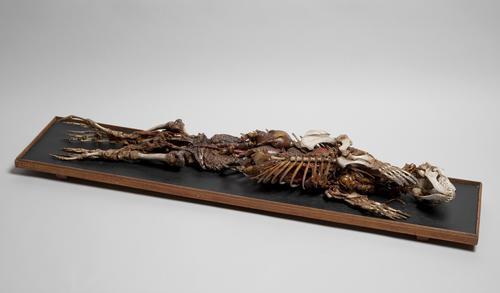 Skelet en ingewanden van gewone zeehond