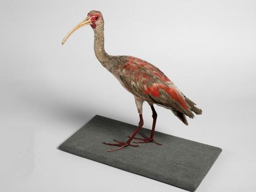 Droogpreparaat van een Rode ibis