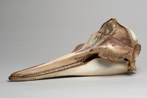 Schedel van een gewone dolfijn