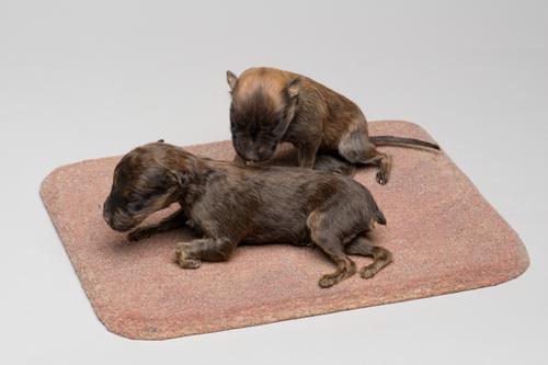 Droogpreparaat van twee pups van de huishond