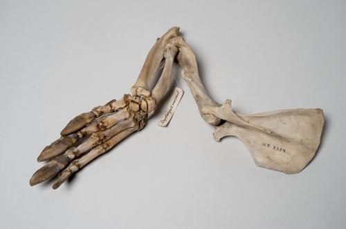 Skelet van de linkervoorpoot van een aardvarken