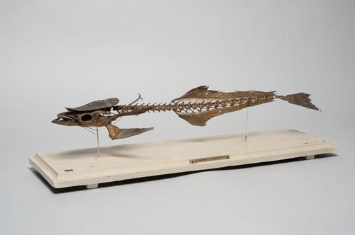 Skelet van een zuigvis
